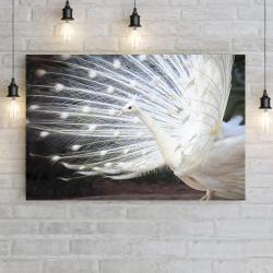 Белый индийский павлин